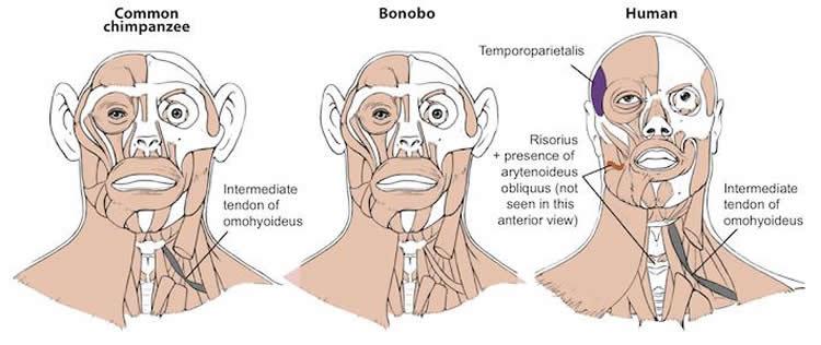 Image shows the similarities between human, bonobo and chimp heads.