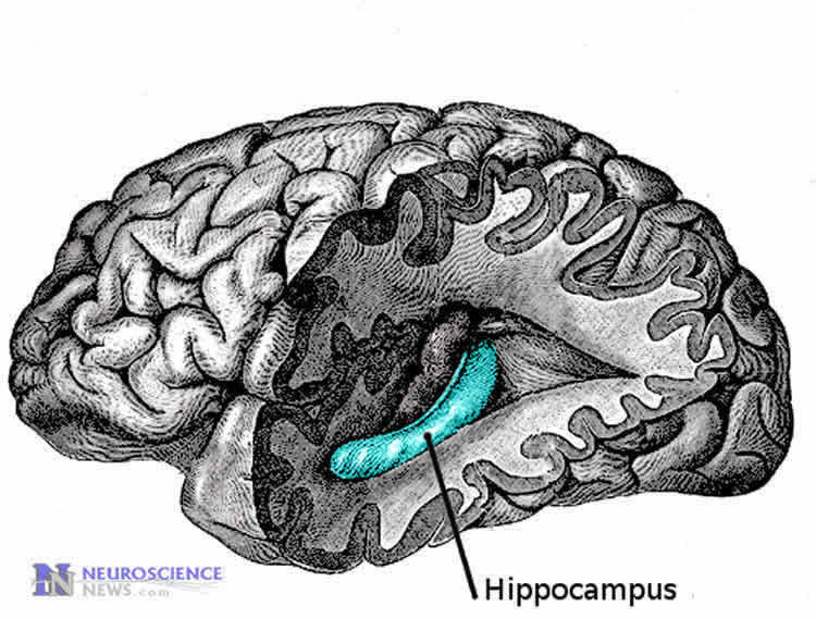 Image shows the location of the hippocmpus in the human brain.