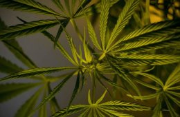 Image shows cannabis leaves.