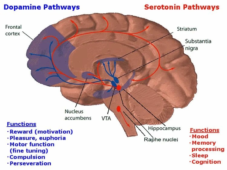Image shows the reward system in the brain.