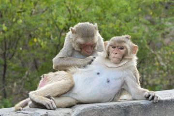 Image shows rhesus monkeys.
