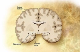 Image shows the location of the entorhinal cortex in the human brain.