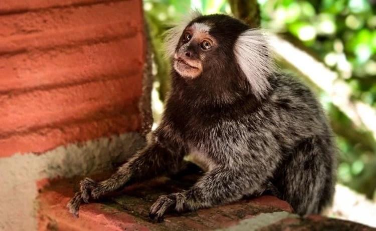 Image shows a marmoset monkey.