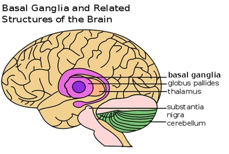 Image shows the basal ganglia in the brain.
