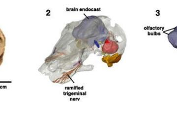 Image shows the skull of Kawingasaurus.