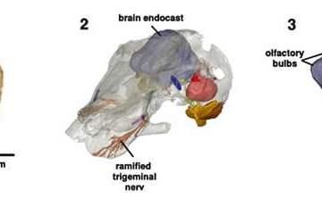 Image shows the skull of Kawingasaurus.