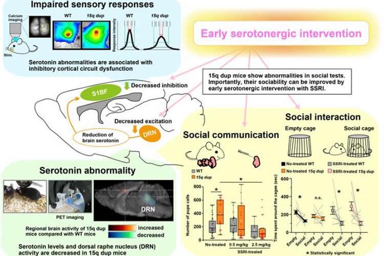 Image shows serotonergic abnormalities in the ASD model mice.