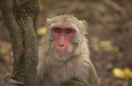 Image shows a rhesus macaque monkey.