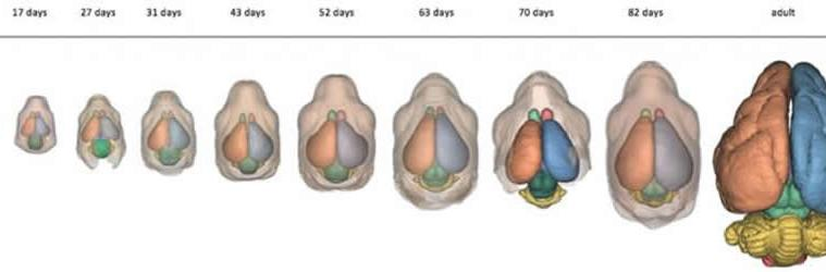 Image shows a brain at different stages of development.