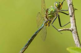 Image shows a green dragonfly.
