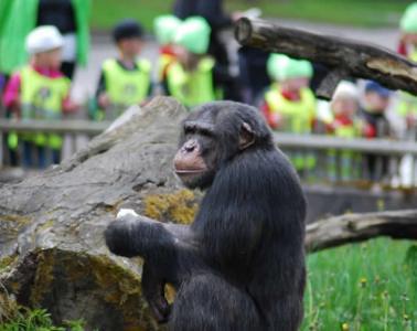 Image shows a chimp.