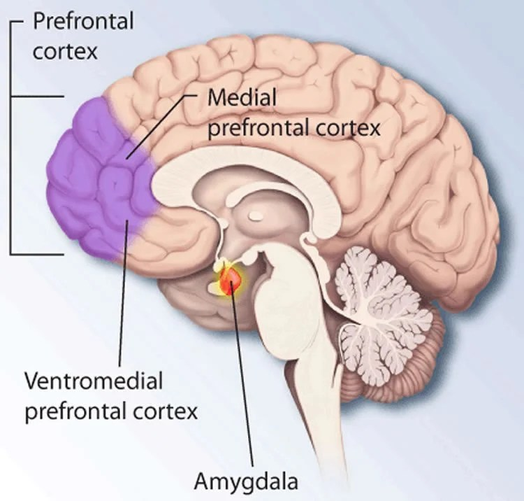 Image shows the location of the pfc in the brain.