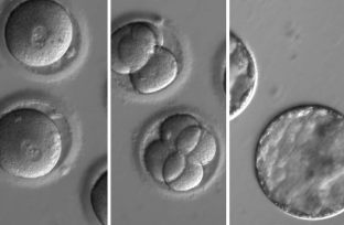 Image shows embryo cells.