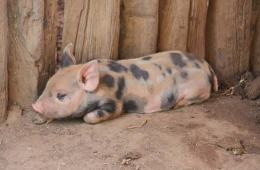 A piglet is shown.