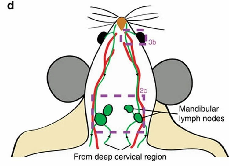 Exit Through The Lymphatic System Neuroscience News