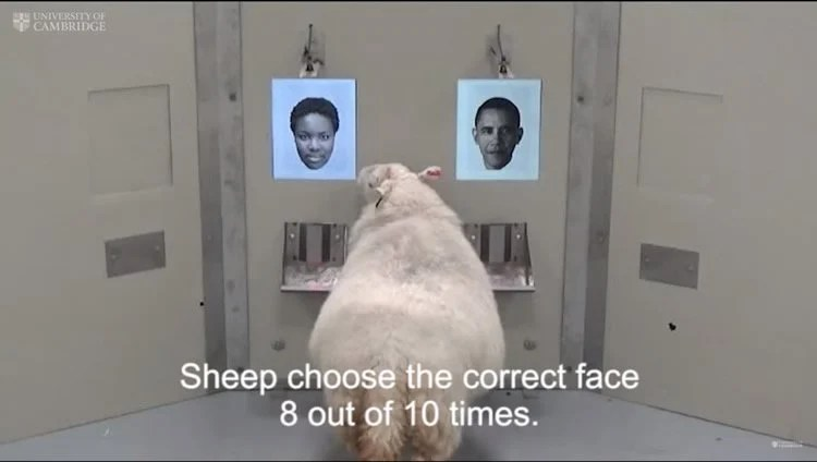 Image shows a sheep looking at photos.