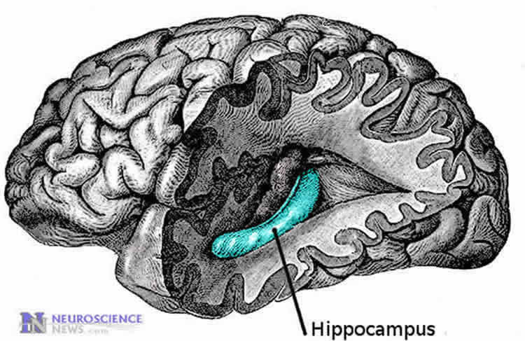 the hippocampus is highlighted in the brain