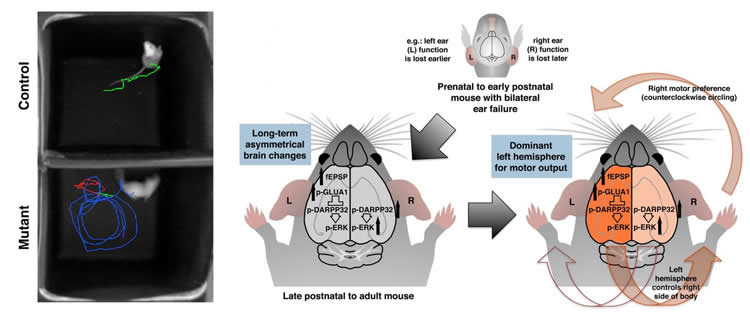 Lopsided ear function can lead to lopsided brain development mouse ear ccuart Images