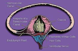 vestibular system diagram