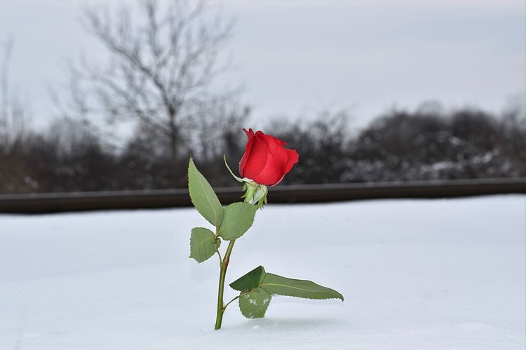 a rose in snow