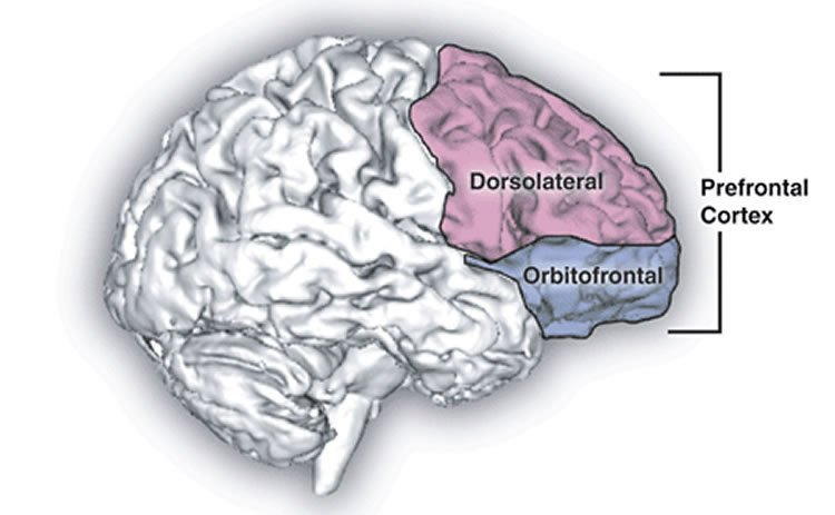 the dlpfc in the brain