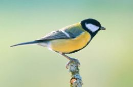 a great tit bird