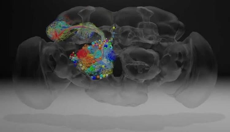 a fly brain