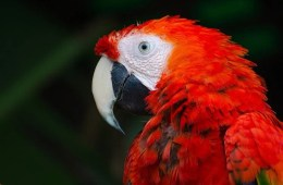 a red parrot