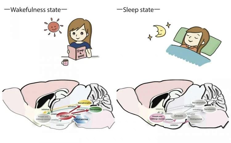 sleep and awake