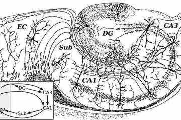 a drawing of the hippocampus