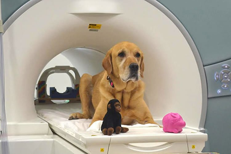 a dog in an fmri