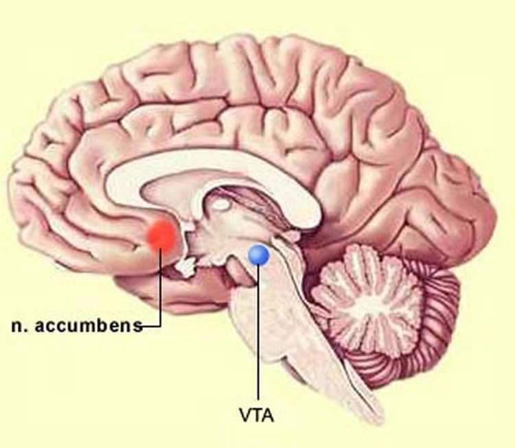 the vta in the brain
