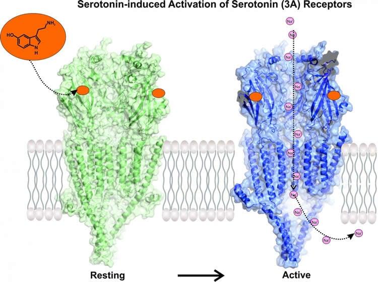 serotonin receptor