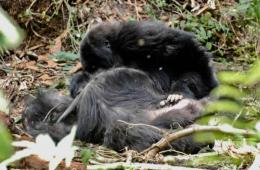 This shows a young gorilla grooming a close social member who has recently died