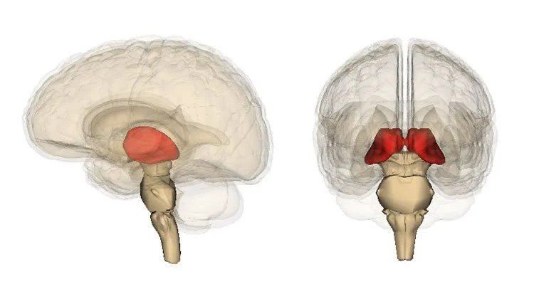 This shows the location of the thalamus in the brain