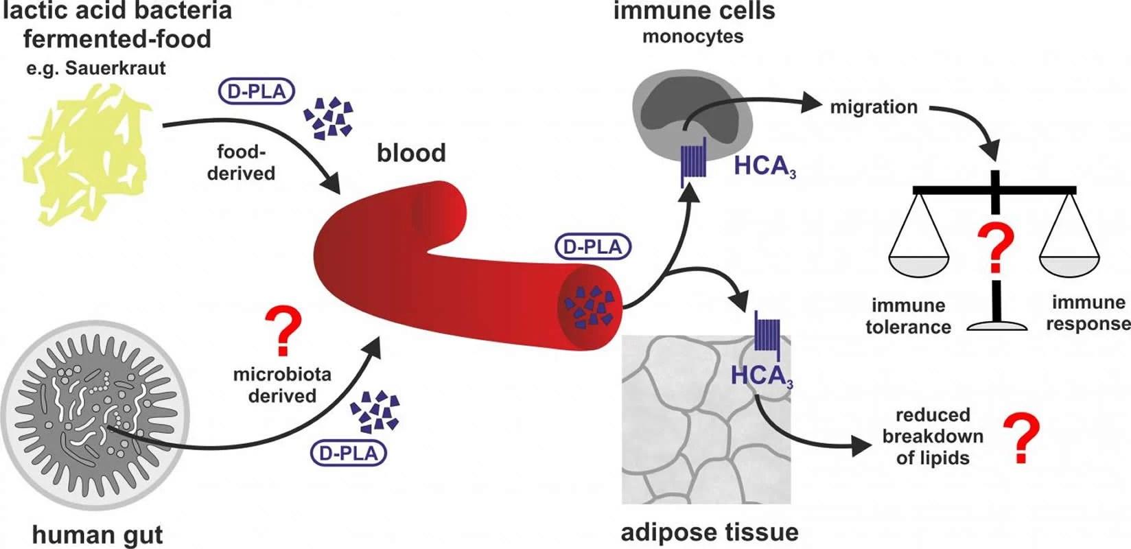 neurosciencenews.com - Bacteria in fermented food signal the human immune system, explaining health benefits