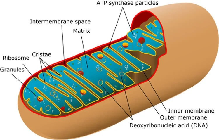 This is a diagram of mitochondria