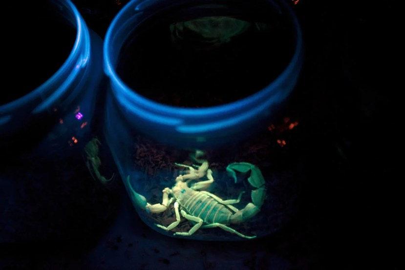 This shows a scorpion in a jar