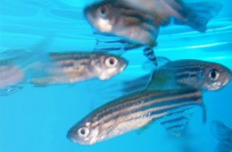 This shows zebrafish