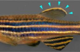 This is a zebrafish