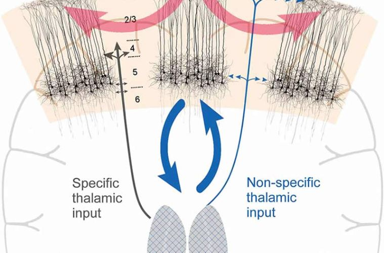 This shows the L5p neurons in the thalamocortical circuit