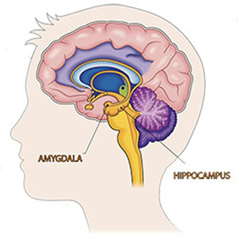 brain sex differences amygdala and hippocampus in High Point