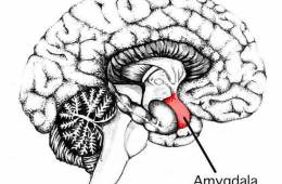 This shows the location of the amygdala in the brain