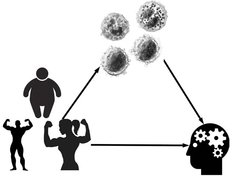 This diagram shows how body fat affects thinking skills