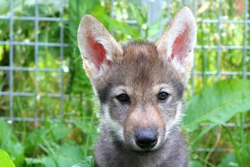 This shows a wolf pup