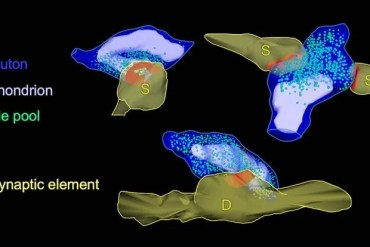 This is a 3d reconstruction of a synapse