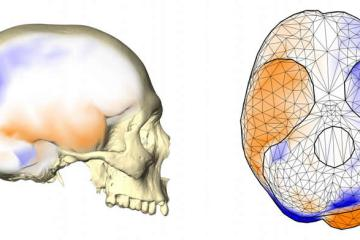 This shows the endocast of the human brain