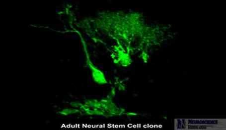 An adult neural stem cell clone is shown in this image.