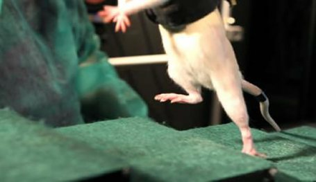 A rat is shown walking up stairs while being held in a robotic harness.