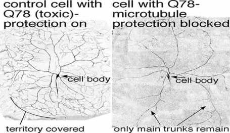 Side by side image of two neurons with labels. Caption describes well.